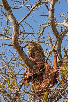 Free Leopard In A Tree With Kill Royalty Free Stock Photography - 5762387