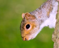 Free Squirrel On Tree Downward By A Head Royalty Free Stock Photography - 5762407