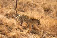 Free Leopard In The Sabi Sands Stock Images - 5762434