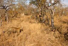 Free Leopard In The Sabi Sands Stock Photography - 5762512