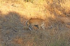 Free Leopard In The Sabi Sands Royalty Free Stock Photography - 5762567