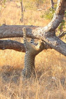 Free Leopard In A Tree Royalty Free Stock Image - 5762576