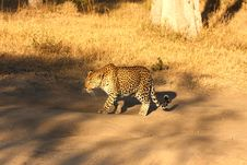 Free Leopard In The Sabi Sands Royalty Free Stock Photography - 5762727