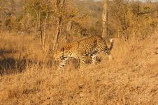 Free Leopard In The Sabi Sands Stock Photo - 5762740
