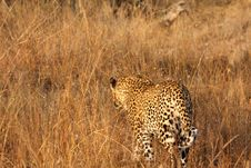 Free Leopard In The Sabi Sands Stock Image - 5762821