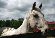 Free Speckled White Palomino Stock Photography - 5762852