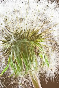 Free Dandelion Stock Photography - 5763382
