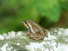 Free The Forest Frog Stock Photos - 5763693