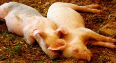 Free Sleeping Pigs Royalty Free Stock Images - 5763929