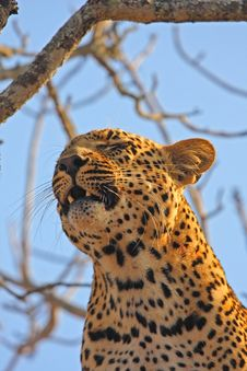 Free Leopard In A Tree Stock Photography - 5764372