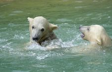 Free Great White North Bear Royalty Free Stock Photos - 5764478