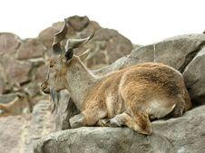 Free Goat. Stock Photos - 5764533