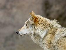 Free Wolf. Stock Photo - 5764640