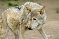 Free Wolf. Stock Images - 5764644