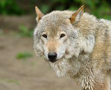 Free Wolf. Stock Photo - 5764650