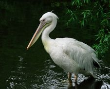 Free White Pelican Royalty Free Stock Image - 5764656