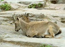 Free Goat. Stock Image - 5764671