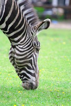 Free Zebra. Royalty Free Stock Photos - 5764718