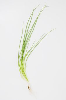 Free Spring Onions Royalty Free Stock Photos - 5765428