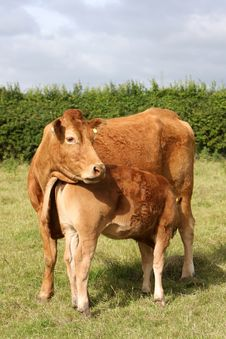 Free Mother And Calf Stock Photo - 5766650