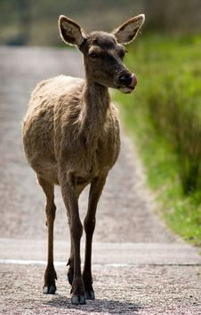 Free Female Red Deer Royalty Free Stock Photos - 5767098