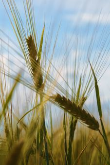 Ears Of Wheat Against Sky Stock Photography