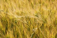 Free Ears Of Wheat Stock Photos - 5767393