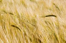 Free Ears Of Wheat In Field Stock Image - 5767401