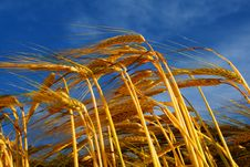 Free Bend Wheat Stems Stock Photography - 5767432