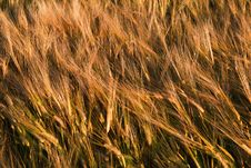 Free Bend Wheat Stems At Sunset Royalty Free Stock Photo - 5767455