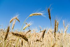 Wheat Ears Stock Images