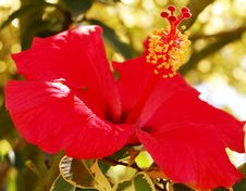 Free Hibiscus Royalty Free Stock Photos - 5767568
