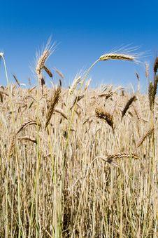 Wheat Ears Against Blue Sky Royalty Free Stock Photo