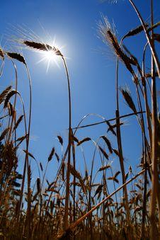 Free Sun And Wheat Ears Stock Image - 5767581