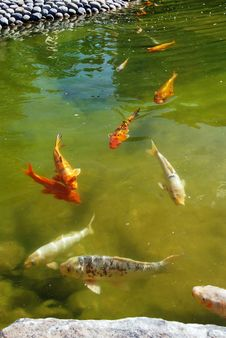 Carps Stock Image