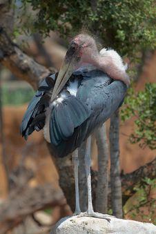 Free Marabou Stork Stock Image - 5767891