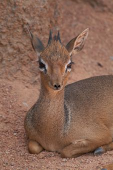 Male Dik-dik Royalty Free Stock Photos