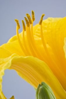 Free Daffodil Royalty Free Stock Photo - 5769215