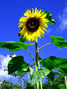 Free Sunflower From The Garden Stock Photos - 57662093