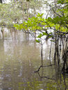 Free Wetlands Mangrove Trees Stock Photo - 5775330