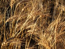 Free Unharvested Wheat Background Stock Image - 5770091