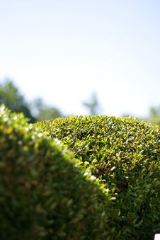 Trimmed Green Bushes Against A Blue Sky Royalty Free Stock Image