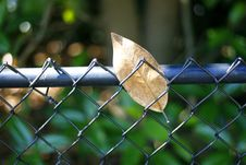 Free Leaf Caught In Fence Stock Photos - 5770253