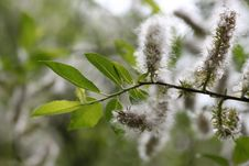 Free Willow Branch Stock Photography - 5770332