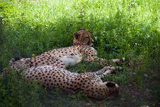 Free Cheetah (Acinonyx Jubatus) Stock Image - 5770991
