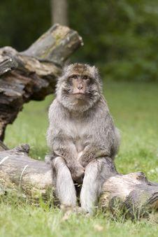 Monkey Thinking Stock Photos