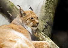 Eurasian Lynx (Lynx Lynx) Royalty Free Stock Photos