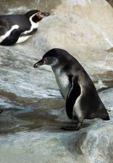 Free Humboldt Penguin (Spheniscus Humboldti) Royalty Free Stock Images - 5771069