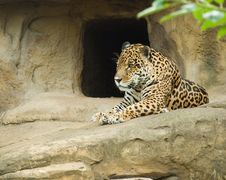 Free Jaguar (Panthera Onca) Stock Images - 5771144