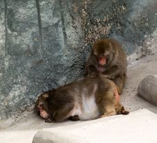 Free Japanese Macaque (Macaca Fuscata) Stock Photography - 5771192